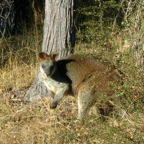 Mr Wallaby