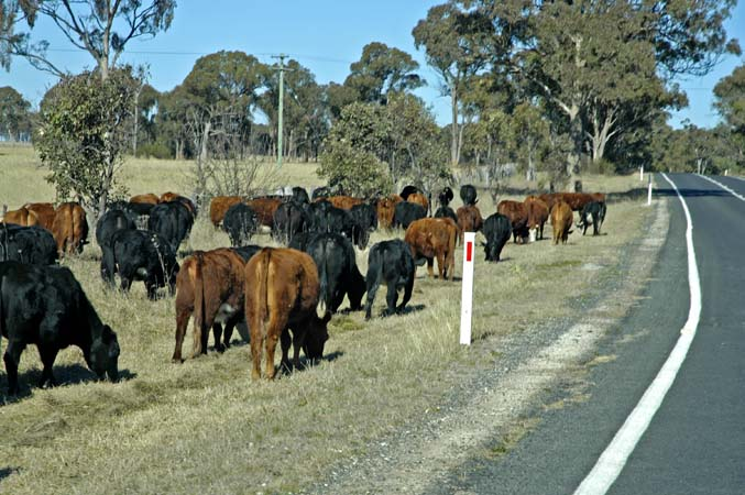 Cattle grazing along the side of the road