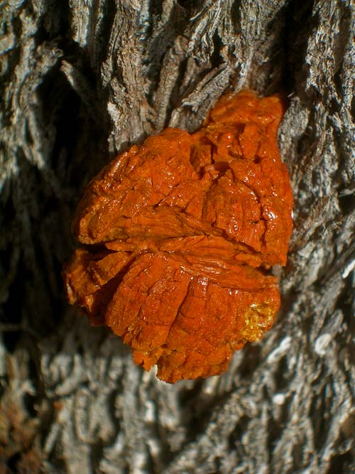 Resin oozes from a tree