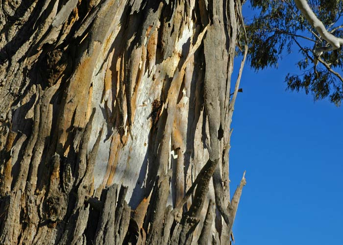 Bark flaking from a gum tree