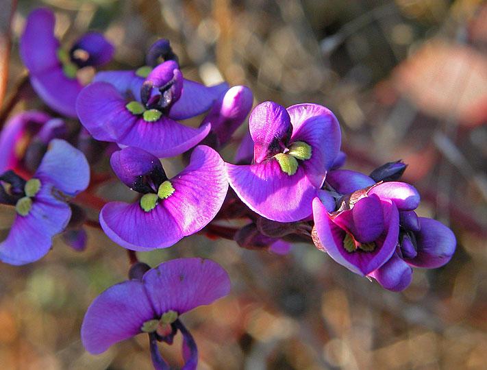 Macro: Hardenbergia (pea family)