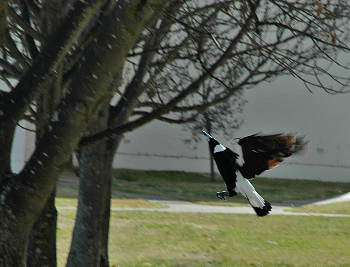 Magpie ascending to tree