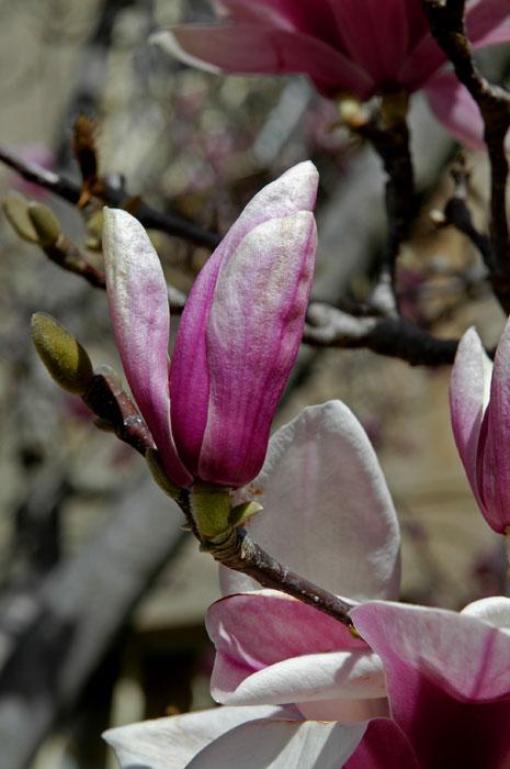 Detail of magnolia flower