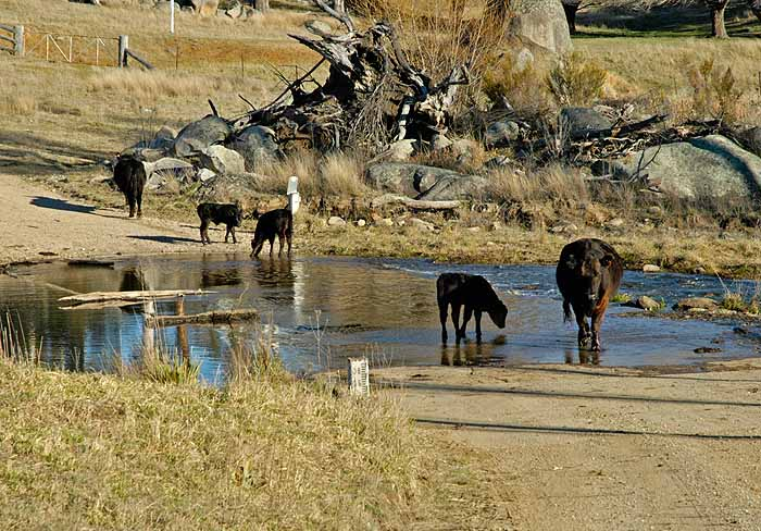 Cattle on the road (at the river crossing)