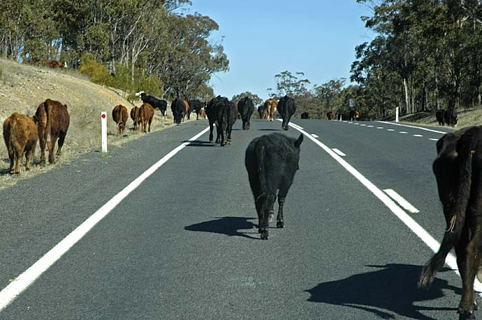 Cattle on the road 1