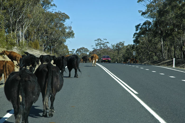 Cattle on the road 2