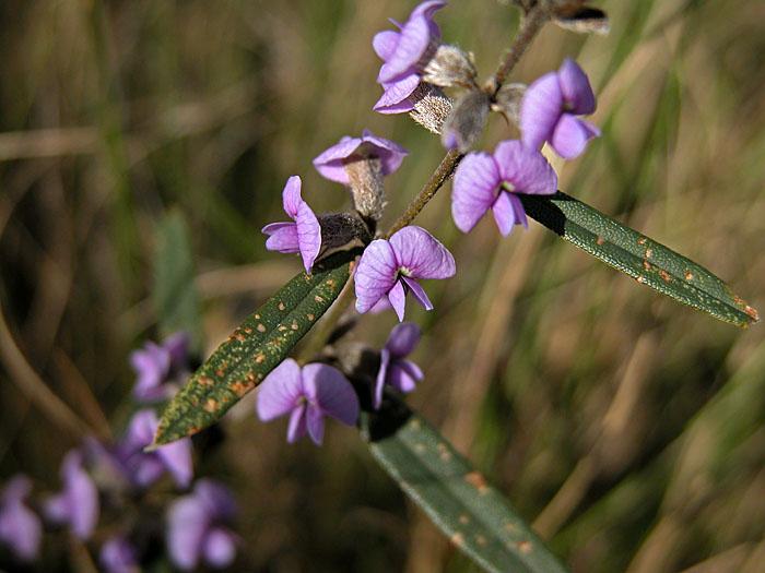 Pea (hovea longifolia) in flower
