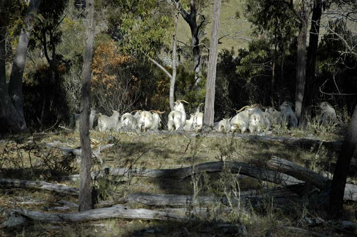 Feral goats on the run