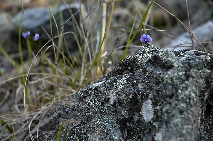 Lone pea flower peeping over rock
