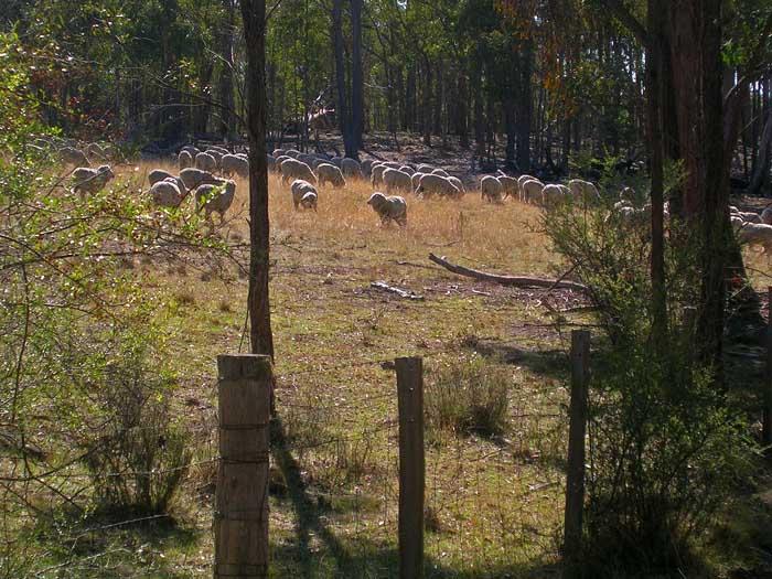 Sheep next door