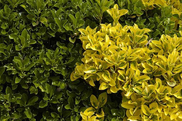 Green and yellow (variegated) bush