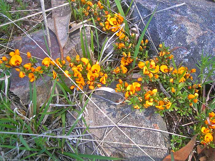 Fabaceae in flower