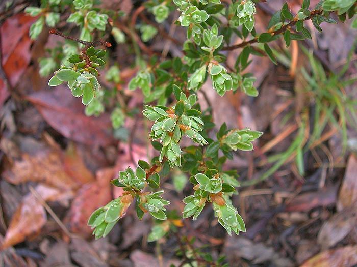 Green tips on shrub