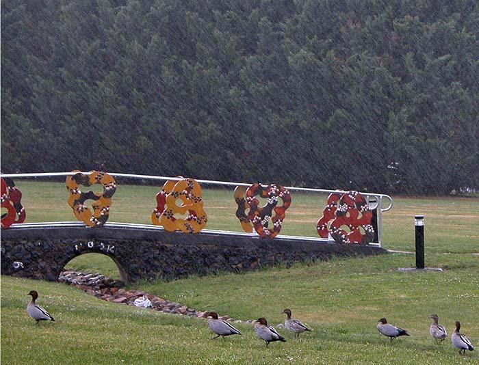 Rain and ducks