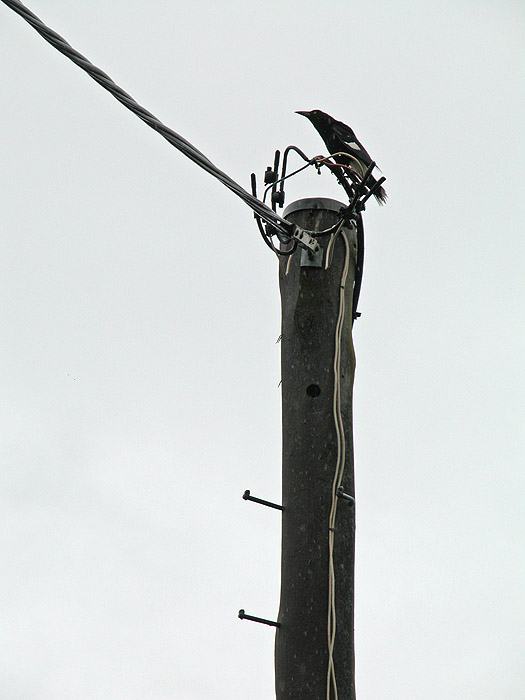 Magpie on power pole