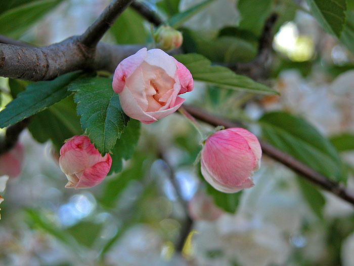 Street tree blossom