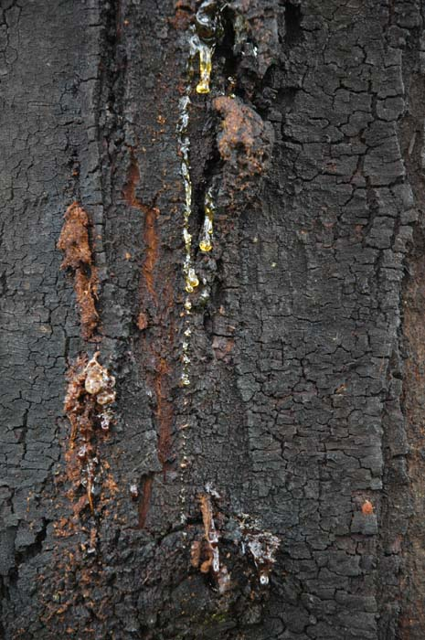 Black wattle bark