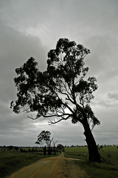 Large old tree leans over the road