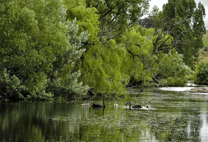 Swans swim at dusk