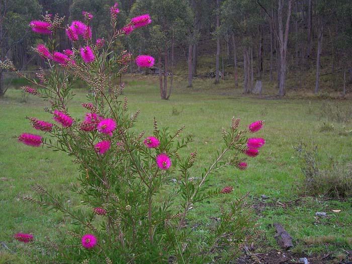 Callistemon (bottlebrush in flower)