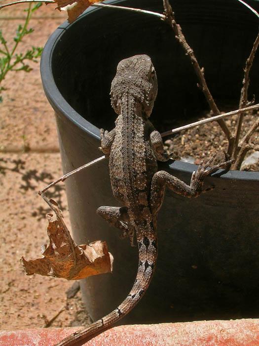 Lizard climbing into flower pot