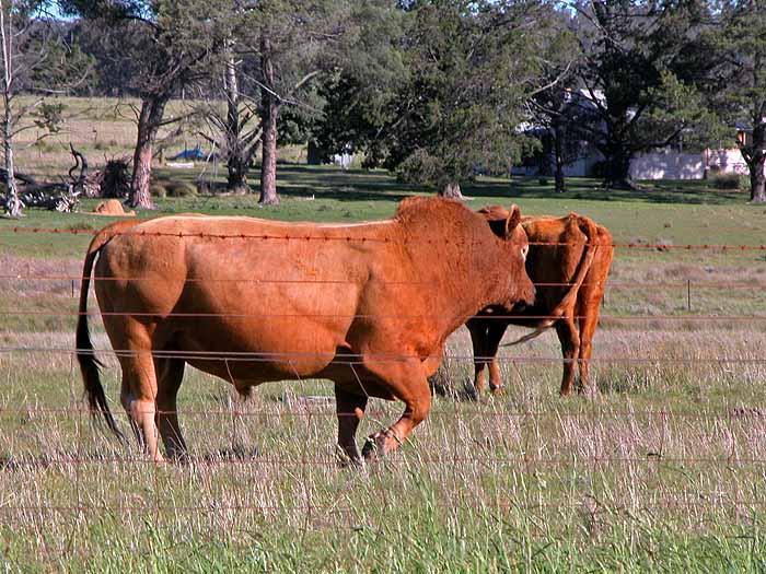 Bull in paddock