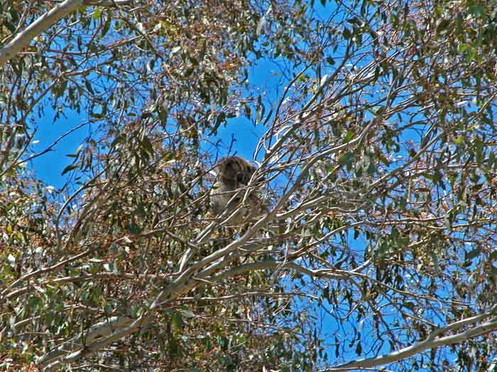Koala up tree