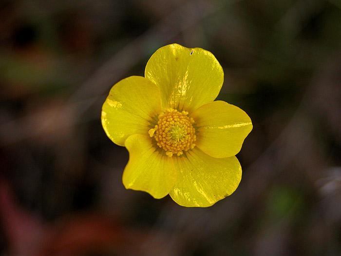 Guinea flower (perhaps)