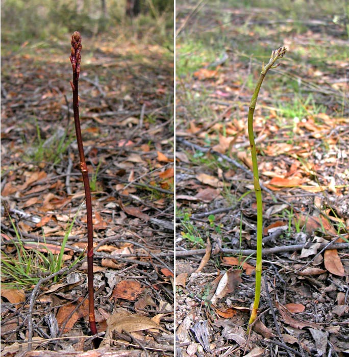 Two types of dipodium orchid
