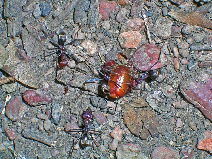 Ants at work moving beetle shell