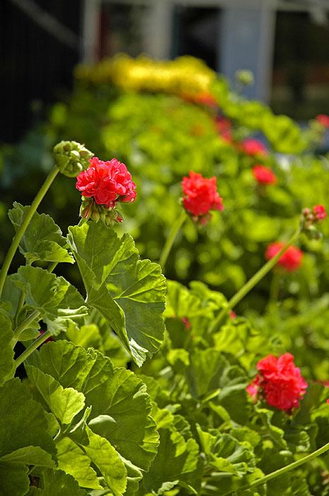 Summer flowering 1