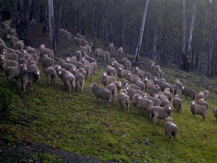 Faces of individual sheep amongst the crowd