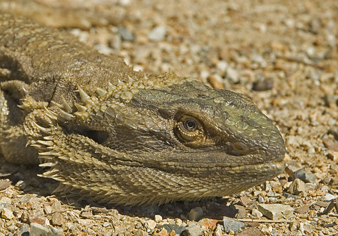 Frilly-necked lizard
