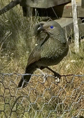 Satin bowerbird