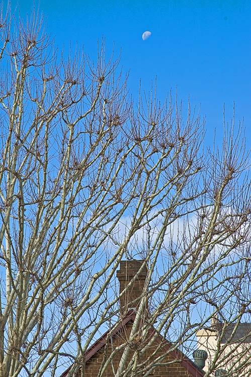 Winter tree; blue sky and moon