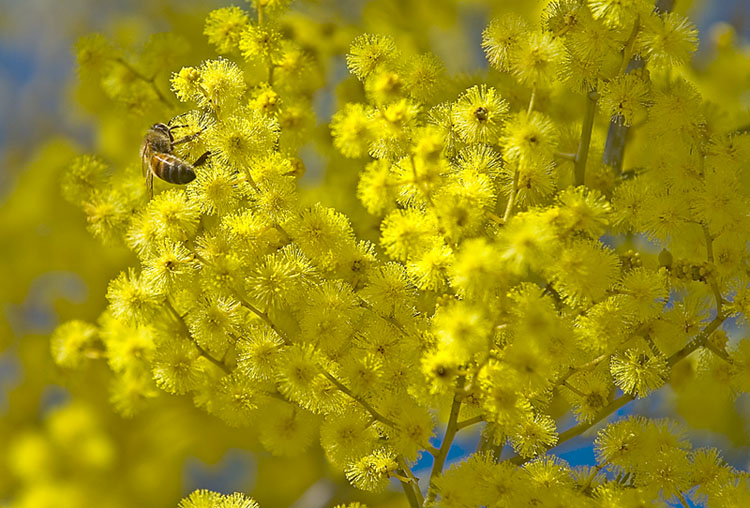 Bee on wattle flowers