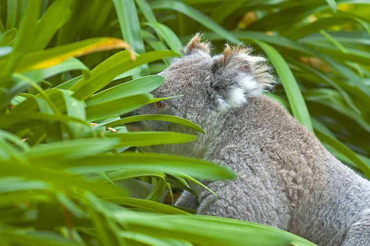 Koala checking out bushes