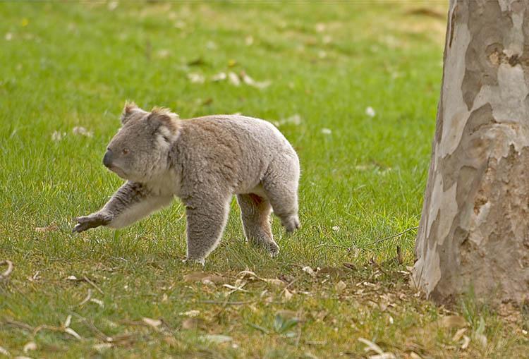 Scampering koala