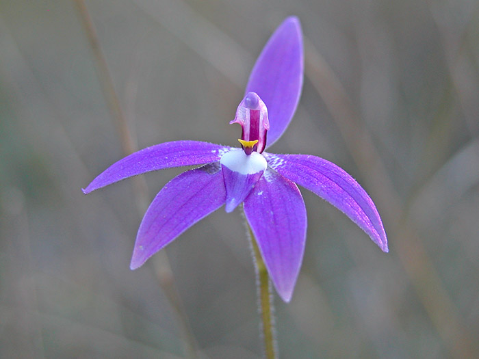 Orchid: Glossodia major