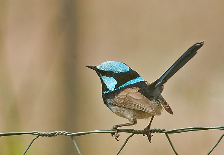 Superb Blue Fairy-Wren