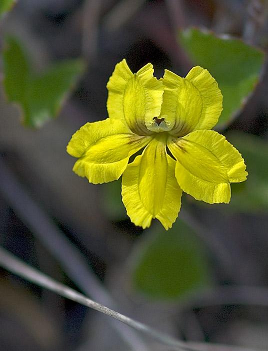 Goodenia flower