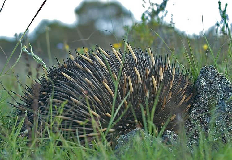 Echidna snuggles up to rock