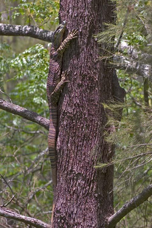 Goanna up a tree