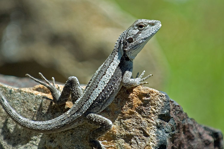 Another lizard on another rock