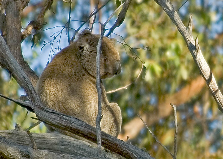 Koala sitting comfortably atop tree