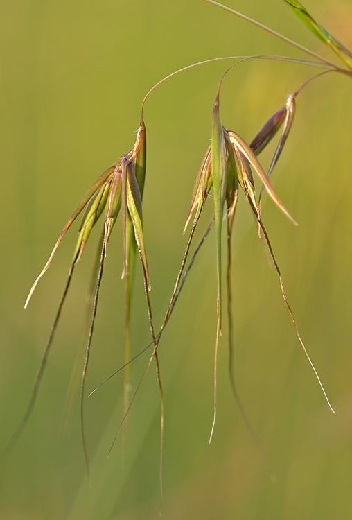 Kangaroo grass seed