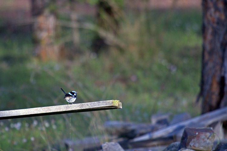 Blue wren walking the plank