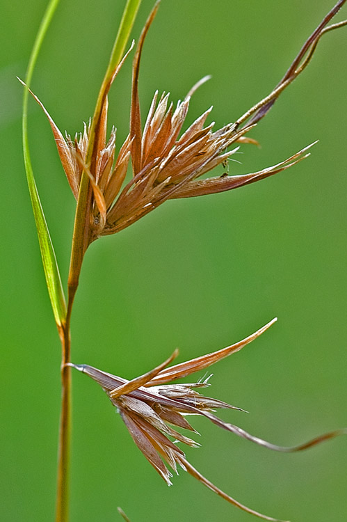 Dry seeds on Kangaroo Grass