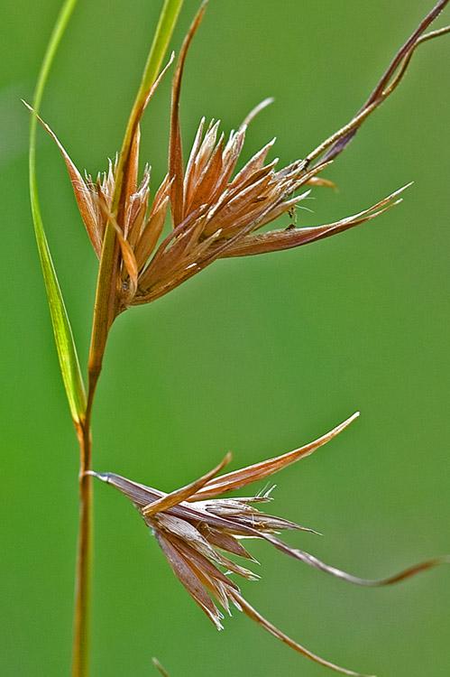 Dry seeds on Kangaroo Grass