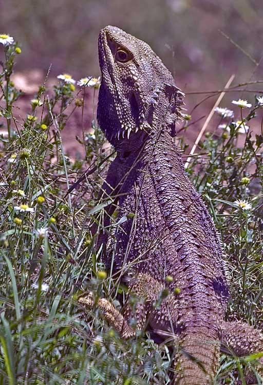 Lizard sunning self